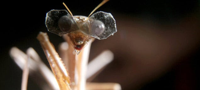 """A Praying Mantis Wearing Tiny 3D Glasses for """"Scientific Research"""""""