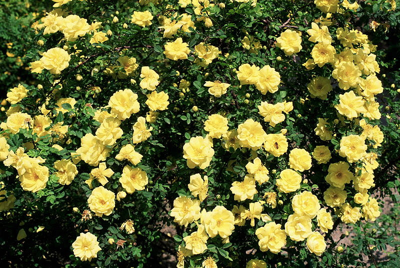 File:Rosa 'Harison's Yellow'.jpg