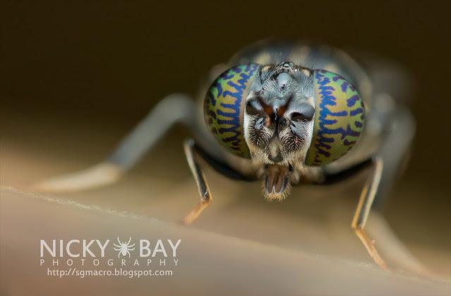 Soldier Fly (Stratiomyidae) - DSC_6204