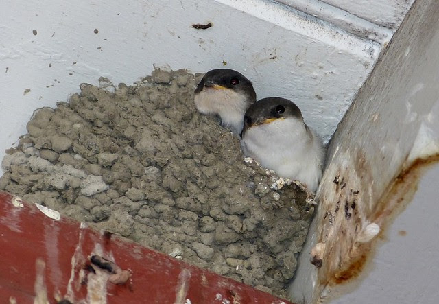 House Martins, Switzerland