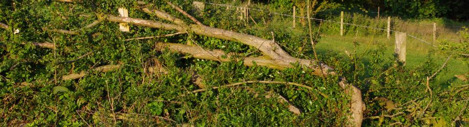 Pleached Farm Hedge