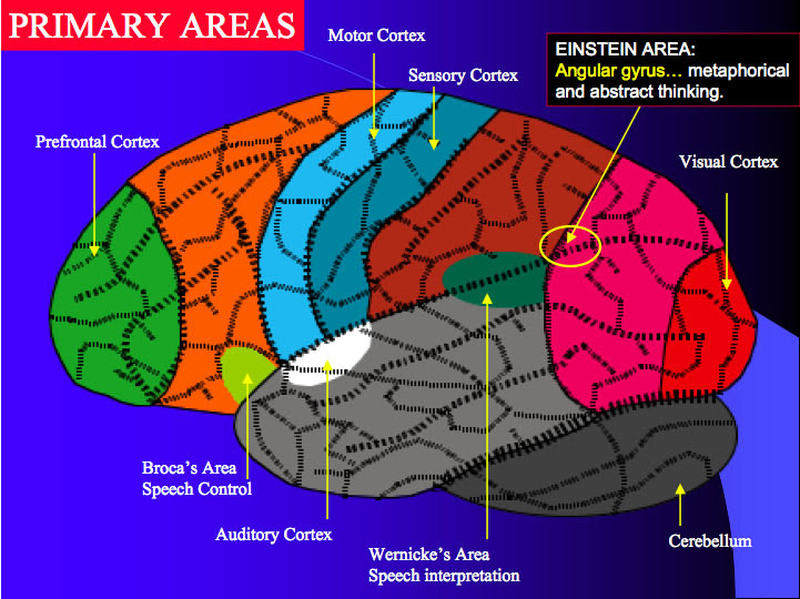File:Brain 2.jpg