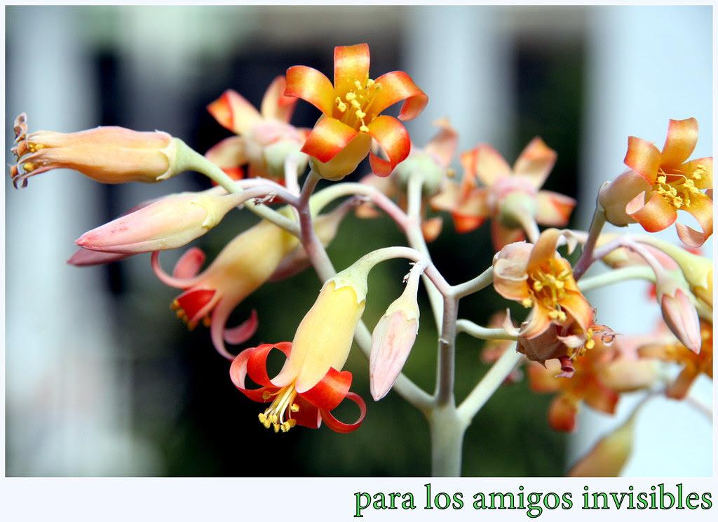 Para los amigos invisibles unas flores de cotyledon orbiculata de las crassulaceae