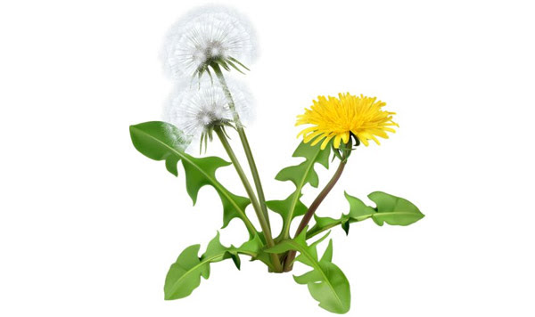 A Greek And Unani Herbal Dandelion