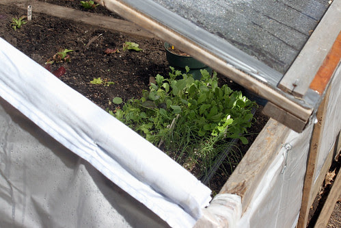 seedling tray in my cold frame