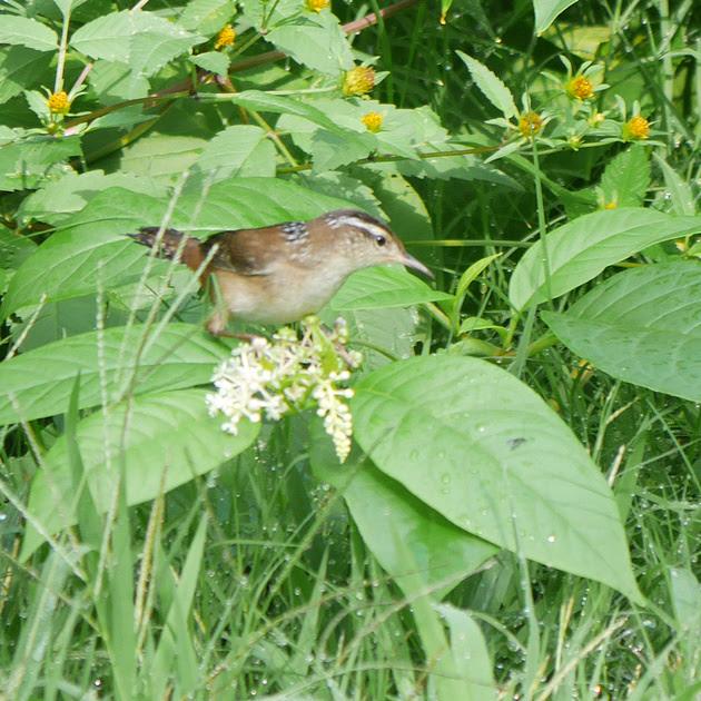 Ed Gaillard: birds &emdash; Marsh Wren, Central Park