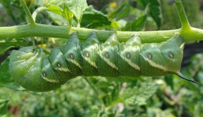 Tomato hornmworm
