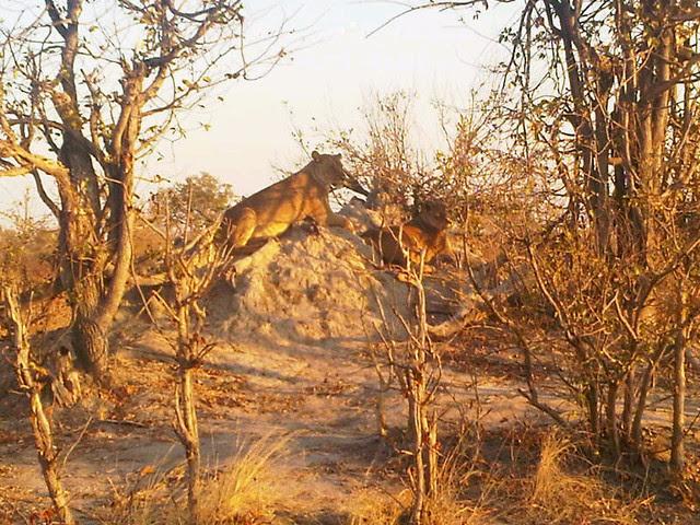 Native Botswanans