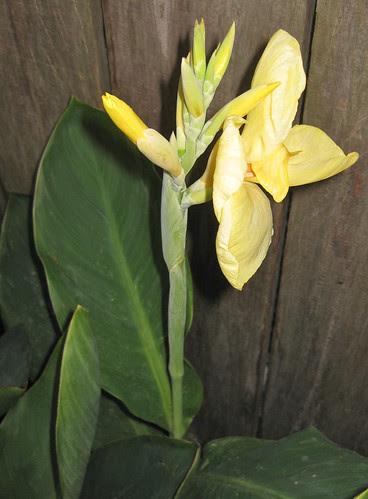YellowCanna