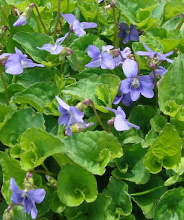 Northern blue violet