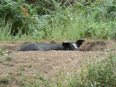 cochon caché.jpg