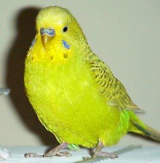 Pigwidgeon, a.k.a. Pidge