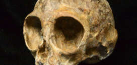 The skull of the newly discovered extinct ape species called Nyanzapithecus alesi is pictured in this handout photo obtained by Reuters August 8, 2017. The lemon-sized fossil skull of an infant ape nicknamed Alesi that inhabited a Kenyan forest about 13 million years ago is offering a peek at what the long-ago common ancestor of people and all modern apes may have looked like.