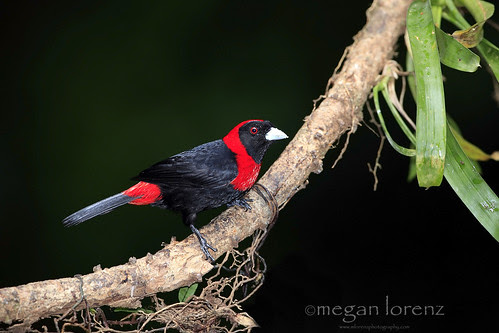 Tanager by Megan Lorenz