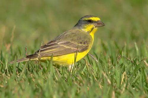 معلومات عن طيور الكناري بالصور والفيديو