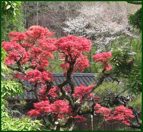 006 momiji in spring