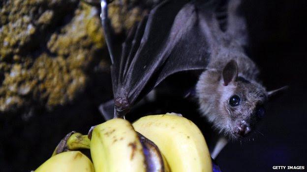 Um morcego é retratado em 2010 no zoológico Amneville, na França.
