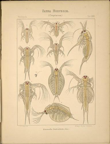 Limnadia lenticularis b