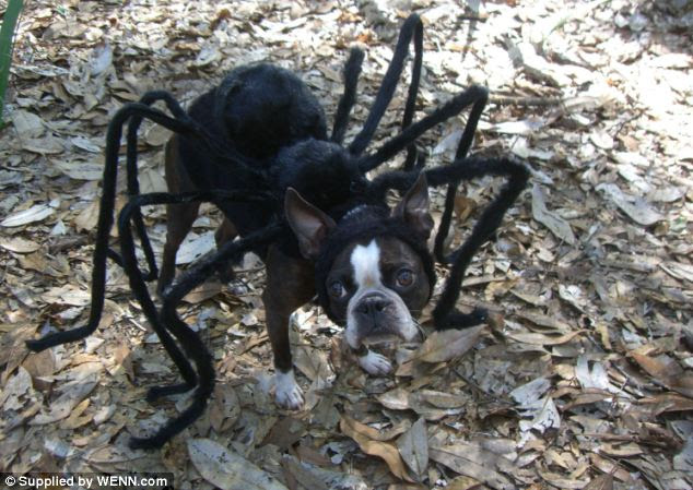 Spider dog: Boston Terrier Echo is dressed in a spider outfit - just one of an array of unusual fancy dress outfits its owner makes