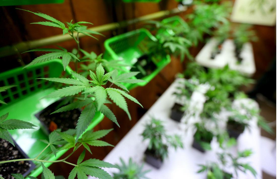 oregon-marijuana-clones-