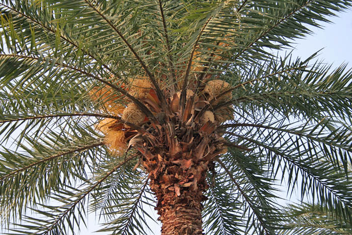 Date Palm Tree Pictures Images Photos Of Date Palm Trees