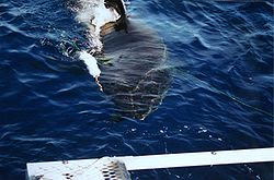 A great white shark at Isla Guadalupe, Mexico is approaching the cage with the divers.