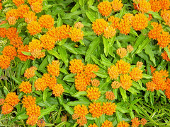 Butterfly weed full bloom