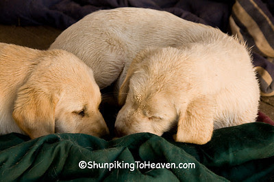 Yellow Lab Puppies, Casey County, Kentucky