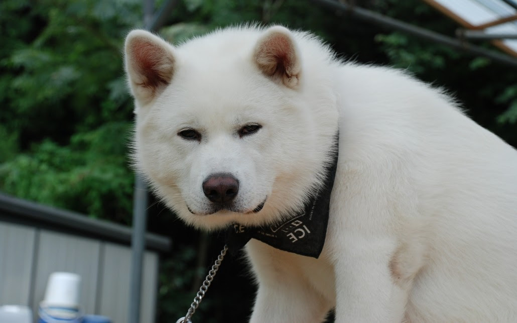 Akita Inu Breed Guide  Learn about the Akita Inu.