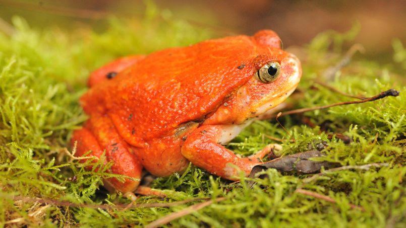 Reptiles et amphibiens font généralement partie des animaux mal-aimés. La mascotte des grenouilles tomate, pas encore désignée, devrait pourtant attirer quelques curieux pour sa couleur atypique.