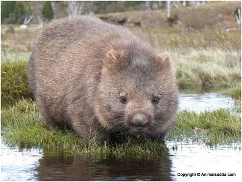 Wombat   Pictures, Facts, Information, Diet, Appearance, Lifespan, Characteristics   Animals Adda