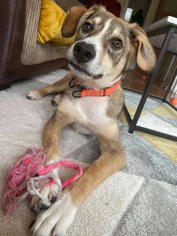 Pan – 7 month old male Cross-Breed