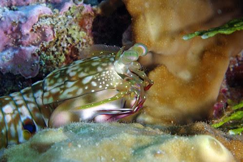 Gonodactylus Chiragra (Mantis Shrimp)