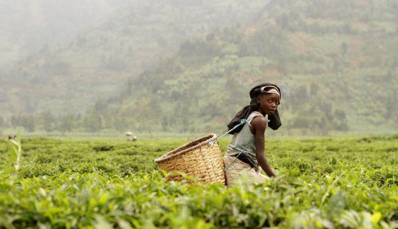 Stephane, ruandés de ocho años, carga con la 15 kilos de té al día para ayudar a su familia.