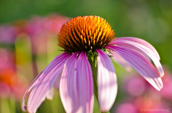 echinacea (also known as a coneflower), in muted colors
