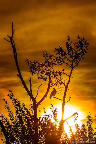 Bald Eagle Perched at Sunset, Kirkland, Washington