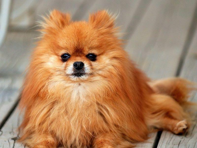 Pomeranian (Dwarf Spitz)