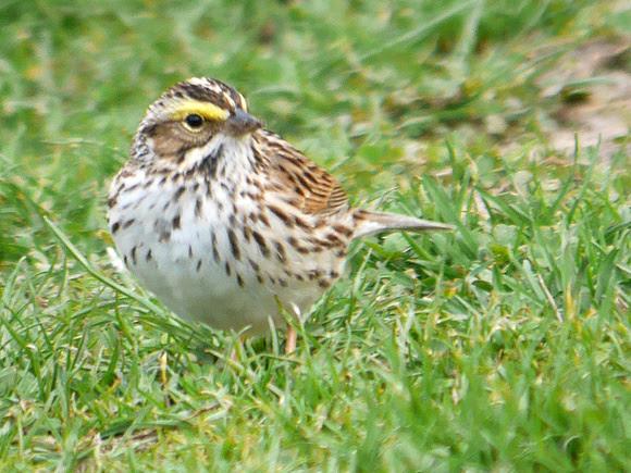Ed Gaillard: recent &emdash; Savannah Sparrow, Central Park