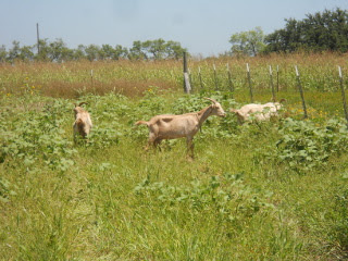 Goats Continuing to Graze in the Wheat Field