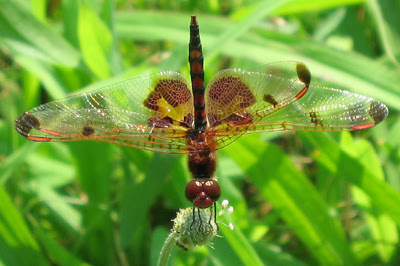 Calico Pennant Dragonfly