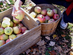 cortland apples, Mr. Safian's