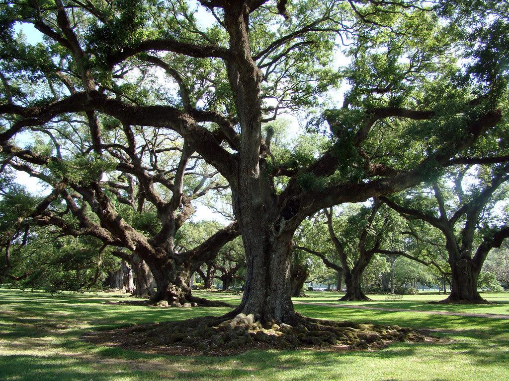 20100506_0748 Oak Alley live oaks