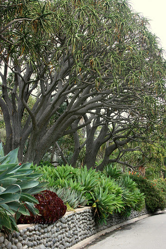 huntington aloe trees