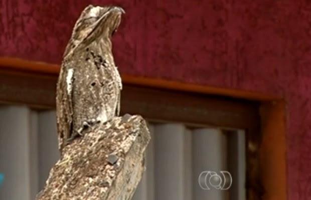 Urutau atrai moradores de Rio Verde em Goiás (Foto: Reprodução/ TV Anhanguera)