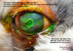 Deep ulcerative keratitis dog tarsorrhapy toapayohvets, singapore