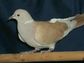 Doves Pigeon Care Pet Pigeons And Dove Information And Bird Care