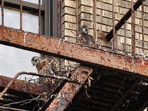 Washington Heights Red-Tails