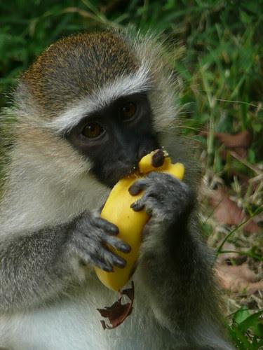 Monkey with his banana