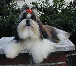 Shih Tzu Best Small Dogs