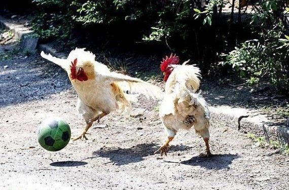 4000+ Gambar Ayam Editan  Paling Keren